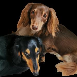 ろんぱくちゃんねるの日記 ペットショップの売れ残り、元保護犬、ミニチュアダックスフンドコンビの日常
