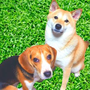 柴犬&ビーグル犬との愉快な暮らし