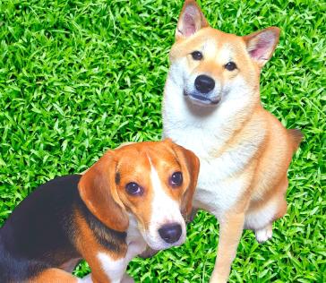 柴犬まい&ビーグル犬ハルさんのプロフィール