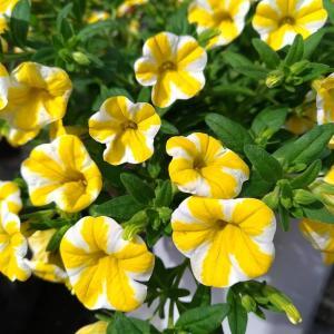 麗花の園芸日記