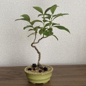杏と豆の木