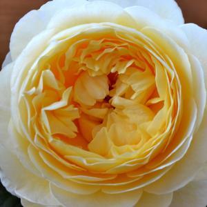 roselog.tokyo|バラの剪定開花の記録