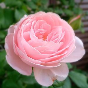 ときめきの薔薇づくり~yuki's happy days