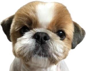 シーズー犬モモコだよ!