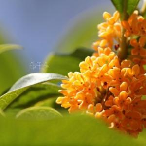 金木犀の花と香り