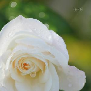 薔薇と雫と甘酒と