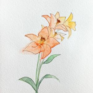 Lilium maculatum Thunb.