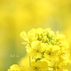 とろける菜の花