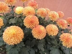 重陽の節句は菊の花で