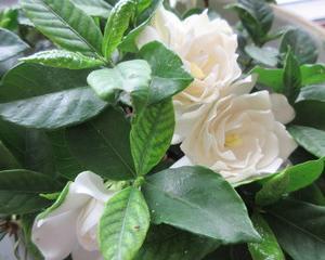 恋する花は妖艶な香りで!
