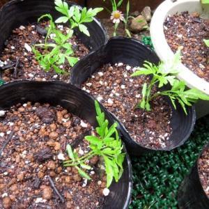 センダンの種蒔き、その後。春~秋