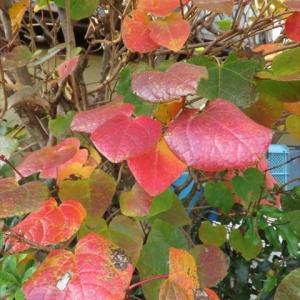 「マルバノキ」の紅葉と花
