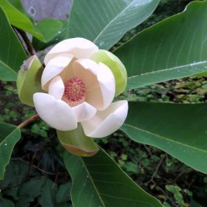 朴の木、開花の観察記録