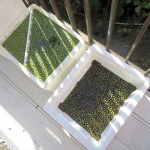 イチョウウキゴケの栽培に挑戦! 1年間のまとめ