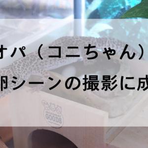 レオパの産卵シーンの撮影に成功!コニちゃんの水中出産を動画