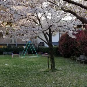 【画像】近所公園へ花見でリフレッシュ!