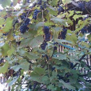 こちらでは毎年各家庭でお酒を造ります。今年は私は参加してませ~ん!ブドウの収穫もプルーンの収穫も手伝ってませ~ん!