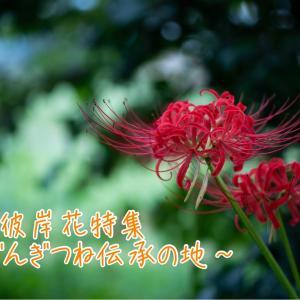 【季節の花特集・秋】儚き彼岸花〜ごんぎつね伝承の地〜