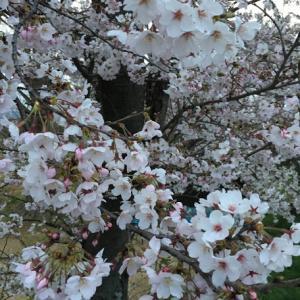桜で復縁祈願・京都正寿院 猪の目窓から見る夜桜拝観に申し込もう!