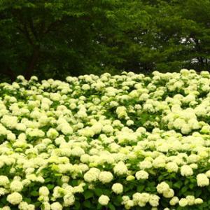 権限堂公園に紫陽花を見に「アナベル編」