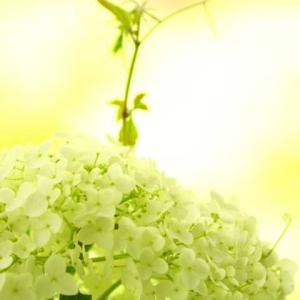 「アナベル編」②権限堂公園に紫陽花を見に