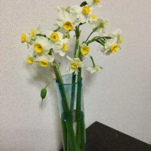 オバケ😅日本水仙