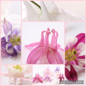 オダマキが咲いた🌸🎶✨色々でコラージュ