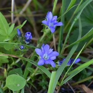 立山に咲く花 #1