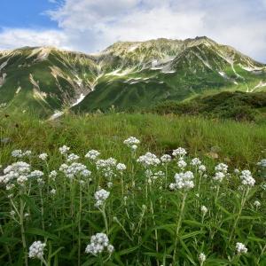 立山に咲く花 #2