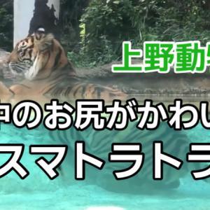 スマトラトラの模様を近距離でじっくり観察&水中のお尻もかわいかったよ【上野動物園】