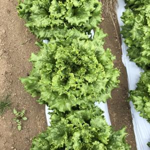 【産地情報】ついに収穫開始!そして梅雨突入?!