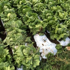 【産地情報】レタスも始まり収穫も本格化!と言ってるそばから流血事件・・・