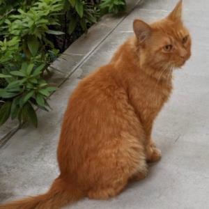 【迷子猫?】八尾市志紀町周辺で茶トラ猫さんをお探しの方はいませんか?