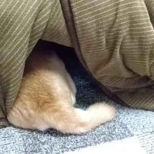 朝から、こたつ犬