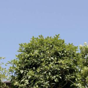 隣の家の木…虫が…日当たりが…邪魔すぎる越境した木は切っていいのか。