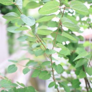 外構の樹木の剪定と、パクチーとオルラヤの種の収穫