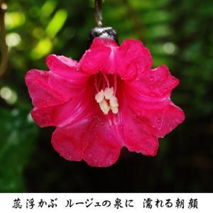 2月 ルージュの泉 ホザキアサガオ