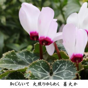 2月 うつむいて咲く カガリビバナ