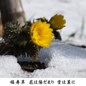 2月 雪融かす フクジュソウ