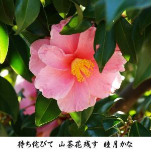 2月 遅咲きの花 ハルサザンカ