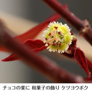 2月 甘い罠の花 ケツヨウボク