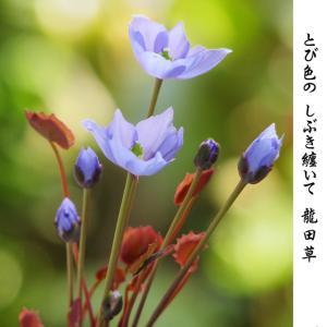 3月 とび色のしぶき タツタソウ