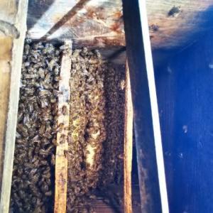 日本ミツバチさん元気に巣作り