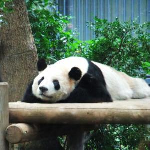 パンダを堪能できるアメリカのパンダ映像を見ながら英語の勉強!