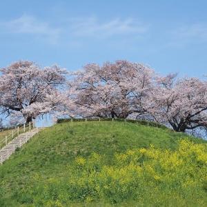 埼玉(さきたま)古墳の桜