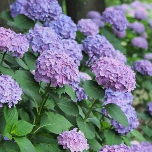 武蔵丘陵森林公園の紫陽花