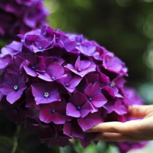 宗吾霊堂の紫陽花まつりは見事です!