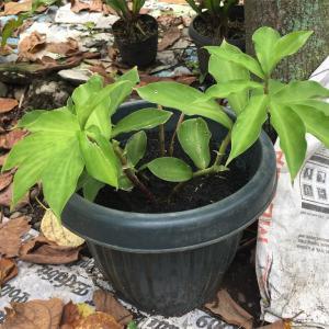 謎の植物インスリンプラント@フィリピン