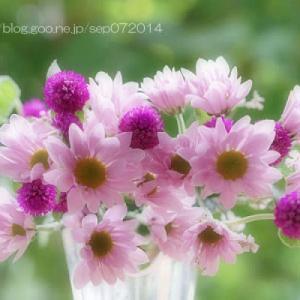 小菊と千日紅