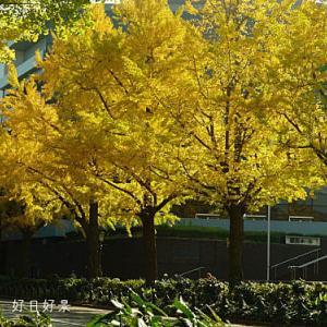 横浜のイチョウ並木